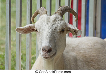 Horns Adult Goat - Smirking adult goat with horns in pen...