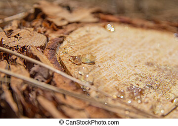 Pine resin - transparent resin drops on a cut surface of...
