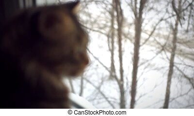 Cute maine coon cat sitting on the window and looking on the...