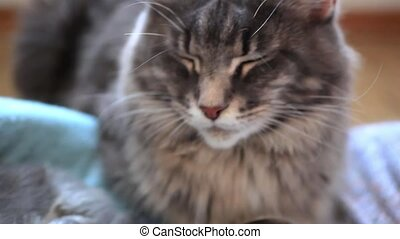 Maine coon Cat is sitting and protection near her kittens -...