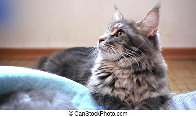 blue maine coon cat lying on the floor