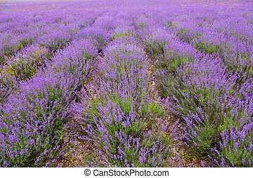 Big field of the blossoming lavender in summer day