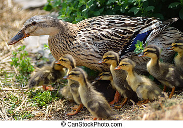 indian runner duck and many babies in the garden