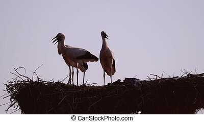 White Storks on the Nesting Place at Sunset