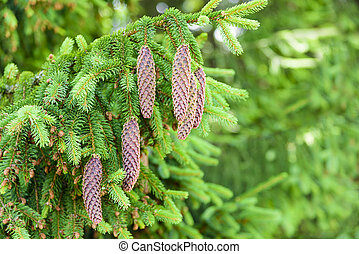 Spruce with cones - Spruce cones on the Christmas tree up...