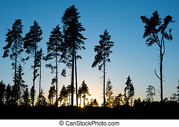 Pine trees - Pine trees on evening sunset sky background