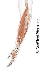 The lower arm muscles - medically accurate muscle...
