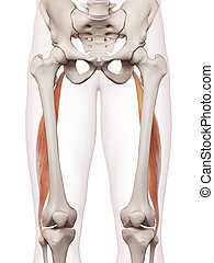 The biceps femoris longus - medically accurate muscle...
