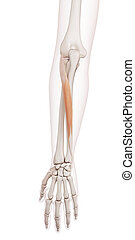 The extensor carpi ulnaris - medically accurate muscle...