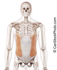 The external oblique - medically accurate muscle...