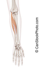 The flexor carpi radialis - medically accurate muscle...