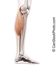 The gastrocnemius - medically accurate muscle illustration...