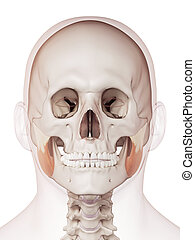 The masseter superior - medically accurate muscle...
