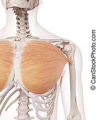 The pectoralis major - medically accurate muscle...