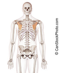 The pectoralis minor - medically accurate muscle...