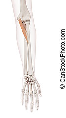 The pronator teres - medically accurate muscle illustration...