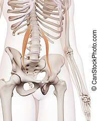 The psoas minor - medically accurate muscle illustration of...