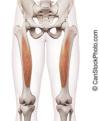 The rectus femoris - medically accurate muscle illustration...