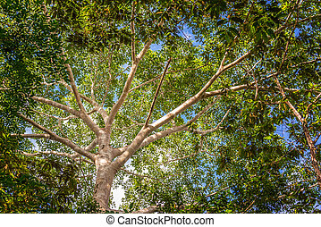 Jungle Canopy - Looking up at the canopy of the jungle in...