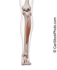 The tibialis anterior - medically accurate muscle...