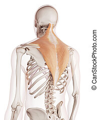 The trapezius - medically accurate muscle illustration of...
