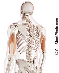 The triceps - medically accurate muscle illustration of the...