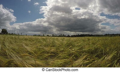 summer end barley field in wind