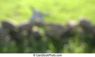 broken cow skull cranium on stone in farm. Blur focus, 4K