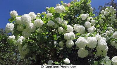 beautiful  viburnum snowball tree