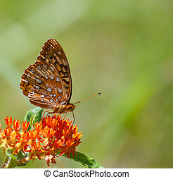 Great Spangled Fritillary (Speyeria cybele) on Butterflyweed...