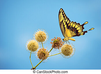 Giant Swallowtail butterfly feeding on buttonbush flowers