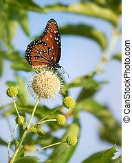 Queen butterfly Danaus gilippus feeding on buttonbush...