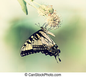 Eastern Tiger Swallowtail butterfly Papilio glaucus feeding...
