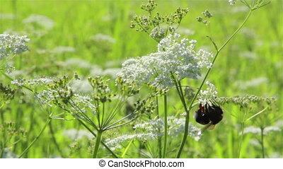 Bumblebee on a field flower