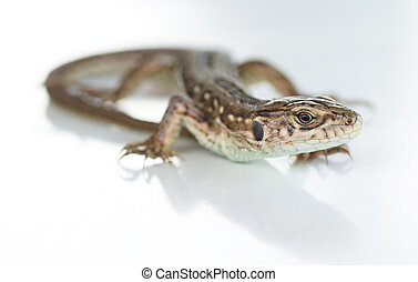 Lizard on a white background. Close-up....