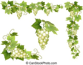 A set of bunches of white grapes. Cluster of berries,...
