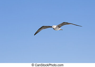 Seagull flying among blue sky - Portrait of a gull over the...