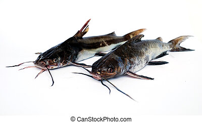 Catfishes - Two catfishes on white background