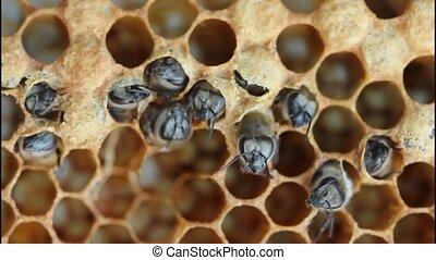 Birth of bee - Bees are expanding holes in cocoons for free...