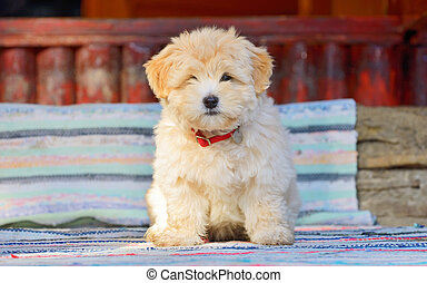 reddish havanese puppy dog - Beautiful reddish havanese...