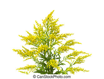 Solidago, goldenrod plant isolated on white background