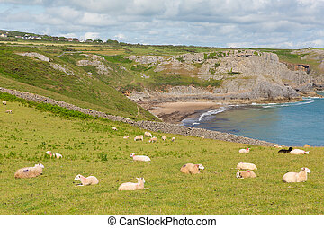 Sheep on Welsh hillside The Gower - Fall Bay The Gower...