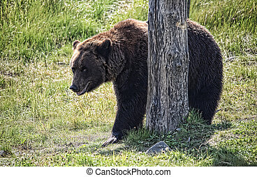 Grizzly Bear in the Wild - Grizzly bear Ursus arctos looking...