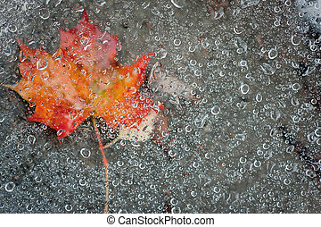 Maple leaf and raindrops - Red and organge Maple leaf under...
