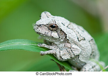 Eastern Gray Treefrog