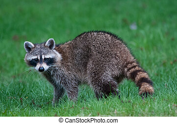 Raccoon in the spring.