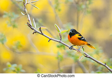 Baltimore Oriole perched on a branch during the spring...