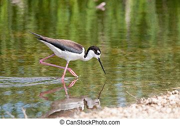 Black-necked Stilt in the marsh.