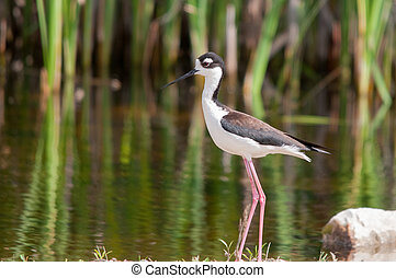 Black-necked Stilt in the marsh