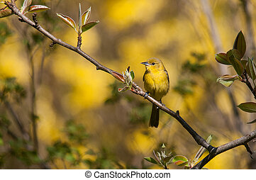 Female Orchard Oriole perched on a branch during spring...